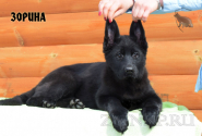 31_Puppies_Uragan_Furiya_ZORINA