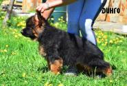 18_Puppies_Garry_Cikuta_DINGO
