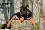 17_Puppies_Bacho_Anka_Boy