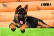24_Puppies_Bacho_Anka_EZHENKA