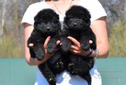 21_Puppies_Uragan_Valterra