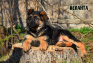 09_Puppies_JV_Yunke_BELANTA