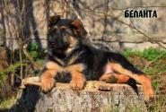 09_Puppies_JV_Yunke_BELANTA