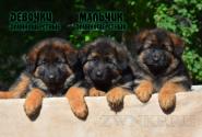 17_Puppies_Mac_Yolka_Boy_Girls_LH