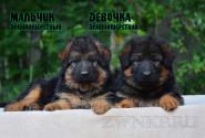 08_Puppies_Yamaguchi_Tsilma_Boy_Girl_LH