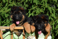 03_Puppies_Umaro_Indiya