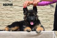 21_Puppies_Umaro_Kaora_OBERON