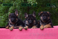 27_Puppies_Ekaraj_Tigris_ULKANA_ULTRA-SI_UMBRA