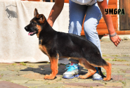 35_Puppies_Ekaraj_Tigris_UMBRA