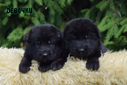 02_Puppies_Uragan_Alyaska_Girls_Black