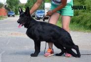36_Puppies_Uragan_Etheri_USHIKA