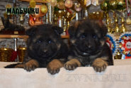 12_Puppies_Umaro_Yuksa_Boys
