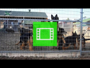 "Long-haired puppies / age - 5 months / of the German Shepherd Breeding Kennel ""Team Zilber Wasserfall"" / video 01 /"
