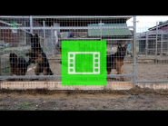 "Super video from the German Shepherd Breeding Kennel ""Team Zilber Wasserfall"""