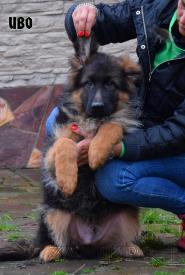 10_Puppies_Garry_Lambada_IVO