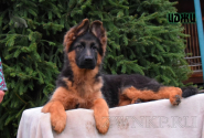 15_Puppies_Garry_Lambada_IDZHI