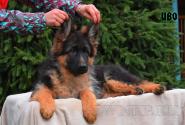 18_Puppies_Garry_Lambada_IVO
