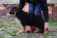 04_Puppies_Uragan_Dakota_KANADA