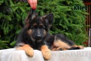 05_Puppies_Uragan_Dakota_KAORI