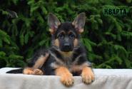 06_Puppies_Uragan_Dakota_KVARTA