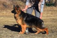 14_Puppies_Uragan_Dakota_KAORI