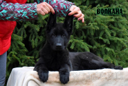 03_Puppies_Uragan_Fleshka_VOLKANA