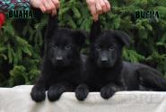 06_Puppies_Uragan_Fleshka_VIANA_VIENA