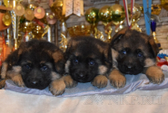 06_Puppies_Yamaguchi_Yagodka