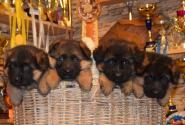09_Puppies_Yamaguchi_Yagodka