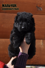 01_Puppies_Uragan_Shalle_Black_Boy