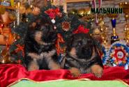 06_Puppies_Waiko_Ichi_Boys