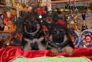 07_Puppies_Waiko_Ichi_Boys