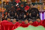 08_Puppies_Waiko_Ichi_Boys
