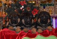 10_Puppies_Waiko_Ichi_Boys