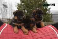 13_Puppies_Waiko_Ichi_Girls
