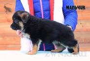 18_Puppies_Bacio_Bakkara_BOY