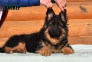 22_Puppies_Bacio_Bakkara_VAJKER