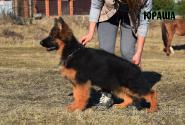 12_Puppies_Yamaguchi_Shtuchka_YURASHA_LH