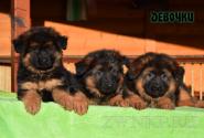 01_Puppies_Garry_Mishel_GIRLS