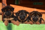 02_Puppies_Garry_Mishel_GIRLS