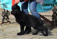 08_Puppies_Uragan_Barselona_SAMURAJ