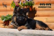 16_Puppies_Uragan_Viagra_FRU-FRU_LH