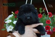 07_Puppies_Uragan_Broshka_BOY_B