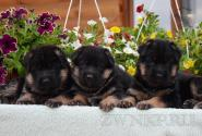 02_Puppies_Billy_Lanesta_BOYS_GIRLS