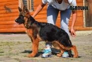 38_Puppies_Garry_Imidzha_PEPPINA