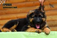 26_Puppies_Uragan_Yolka3_GRISHA_LH