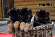 13_Puppies_Billy_Ferlanda_BOYS