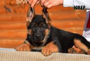 16_Puppies_Billy_Ferlanda_YUKER