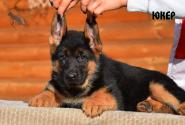 17_Puppies_Billy_Ferlanda_YUKER