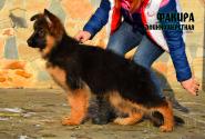 23_Puppies_JV_Nikita_FAKIRA_LH